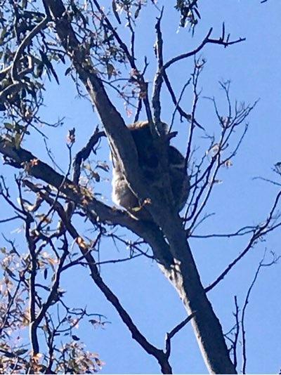 ヤンチャップ国立公園のコアラ1