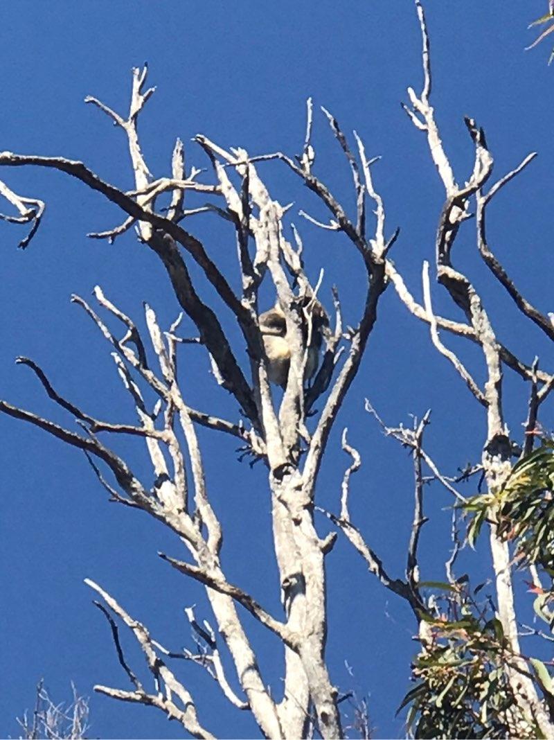 ヤンチャップ国立公園のコアラ2