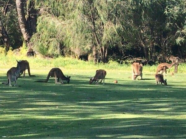 カンガルーの群れ